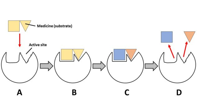 A schematic depicting a psychiatric medication acting as a substrate to an enzyme. There are four steps shown in the photo: A) substrate entering active site on enzyme B) substrate binding with enzyme C) substrate transformed into products D) products unbinding from enzyme.