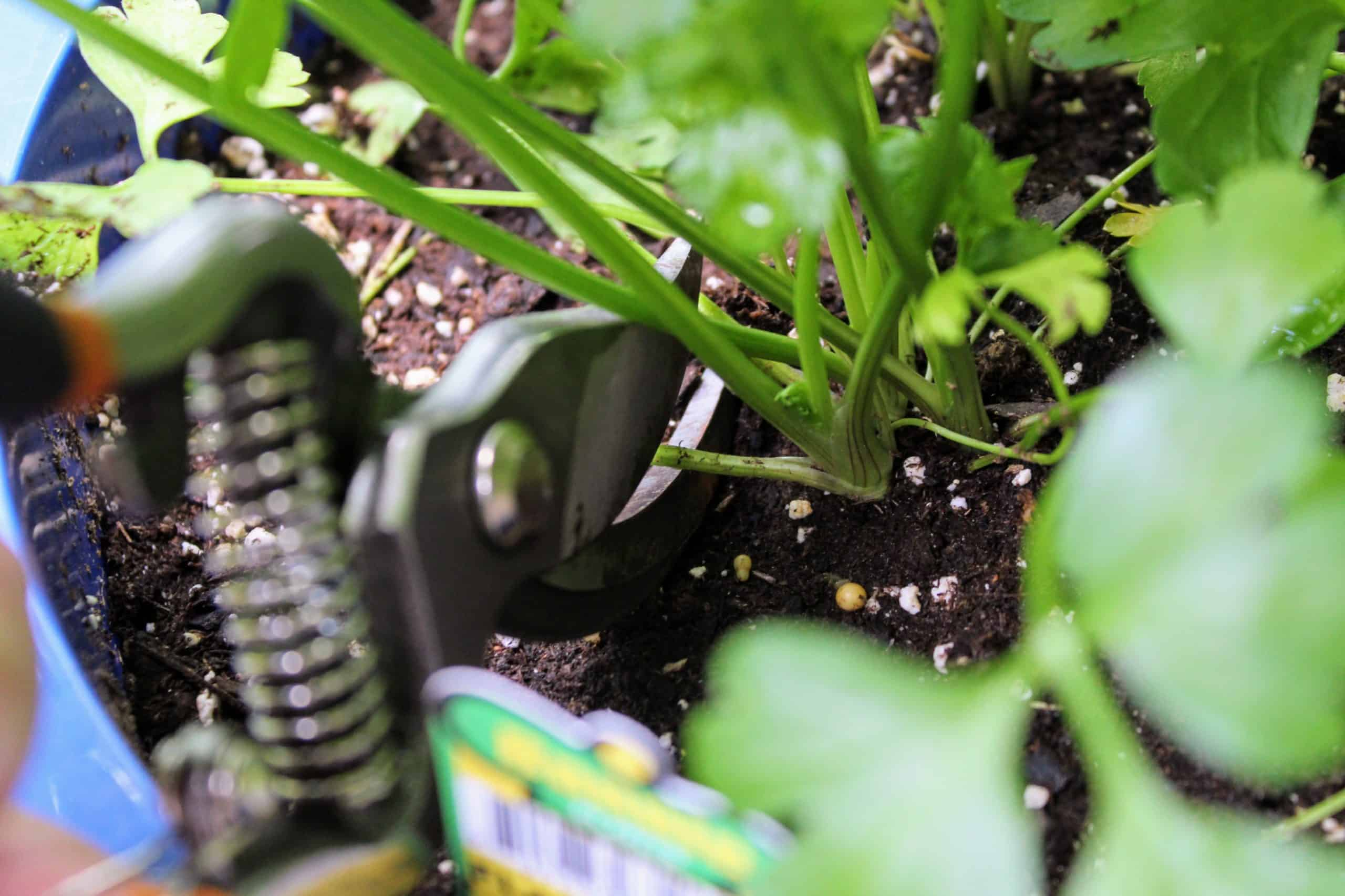 A close-up of cutting the outer part of a parsley plant at the base.